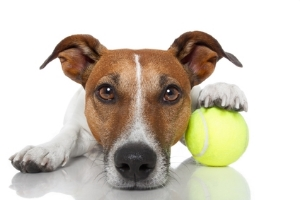 Dogs love to play with tennis balls which may contain harmful toxins.