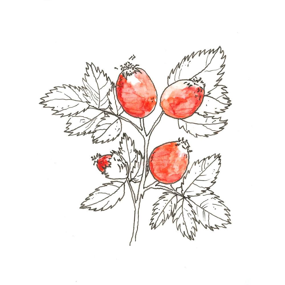 rosehip.jpg