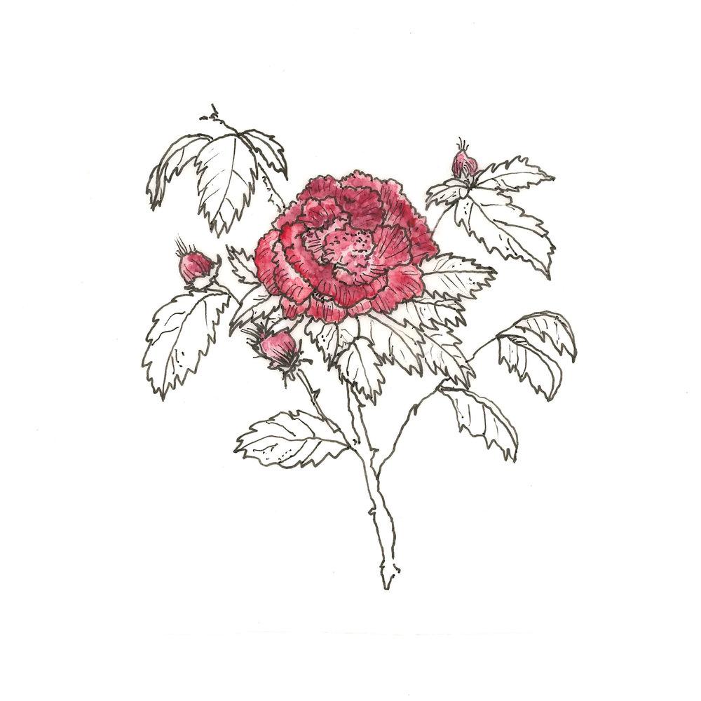 damask-rose.jpg