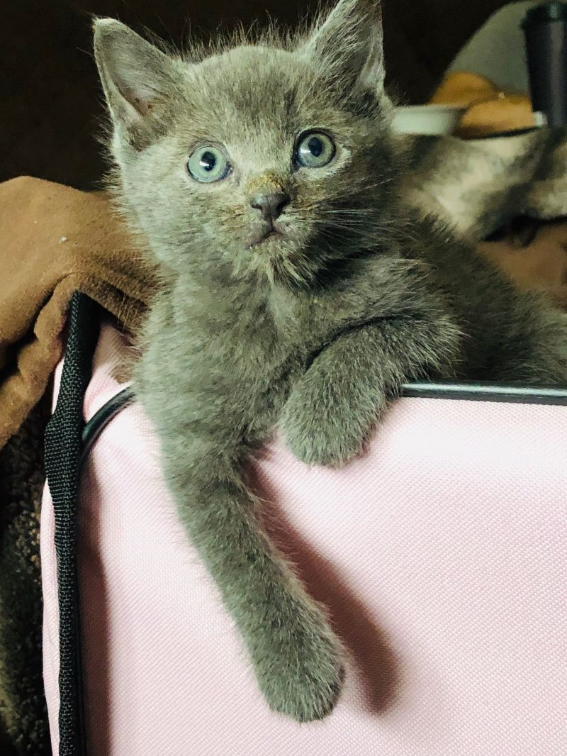 Meetwilma - Wilma and her brother Fred were rescued from a hoarder house. They have been nurtured and cared for by our awesome fosters and now ready for adoption. Please contact us for appointment to meet these super cute and playful kittens.Born October 2018FIV/FELV tested negative,Vaccinated, Spayed,Microchipped.