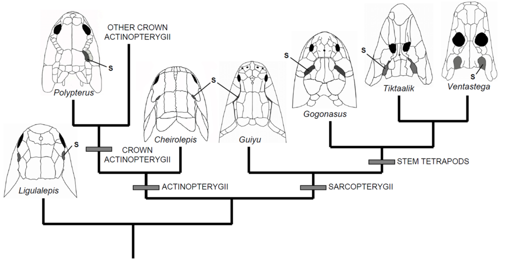 Dorsal view of the skull of Polypterus in comparison to three stem tetrapods and three other early osteichthyans.