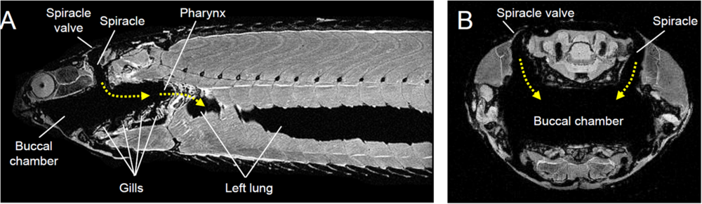 Sagittal and transverse magnetic resonance images of  Polypterus   showing the path (arrows) of air through the spiracles to the buccopharyngeal chamber and lungs