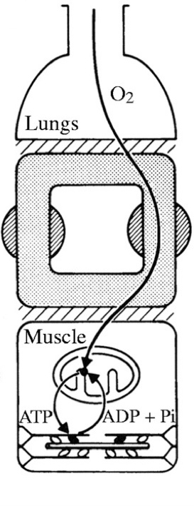 Oxygen is transport from outside the body to active tissues, such a muscle, where it is utilized by mitochondria.    This image is from  J Exp Biol. 2005 May; 208(Pt 9):1635-44.