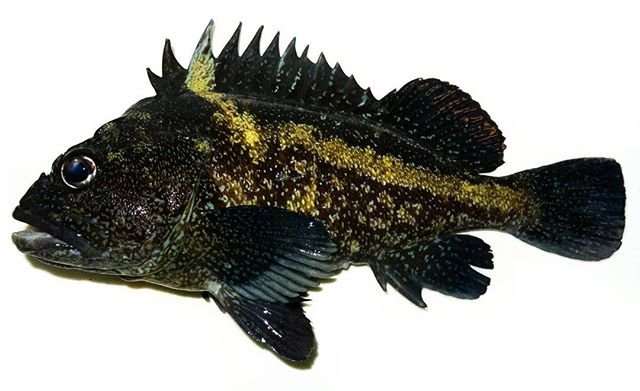 The China rockfish (Sebasties nebulosus), endemic to the Pacific coast from Alaska to through central California, can live over 79 years! This one, however, did not. Yum... #rockfishing #rockcod