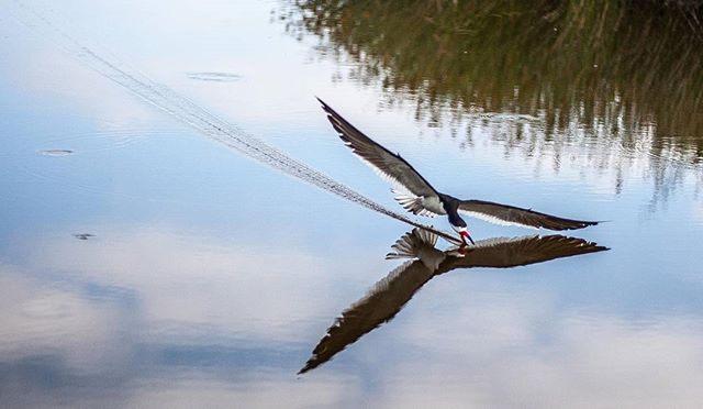 Another shot of the black skimmer cruising for breakfast on the San Joaquin Marsh. Their elongated lower mandible skims the surface and when contact is made with a fish, the upper mandible snaps down. These birds fish by touch, not sight, allowing them to forge even when light conditions are low at dusk or dawn.  #blackskimmer #ucirvine #marsh #birds #audobonsociety