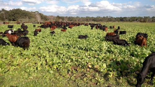Adapted cattle grazing high-energy cover crops in dynamic rotation. The soil in this pasture has the potential to sequester 5 tons of CO2 per acre, per year with the help of this grass-fed animals.