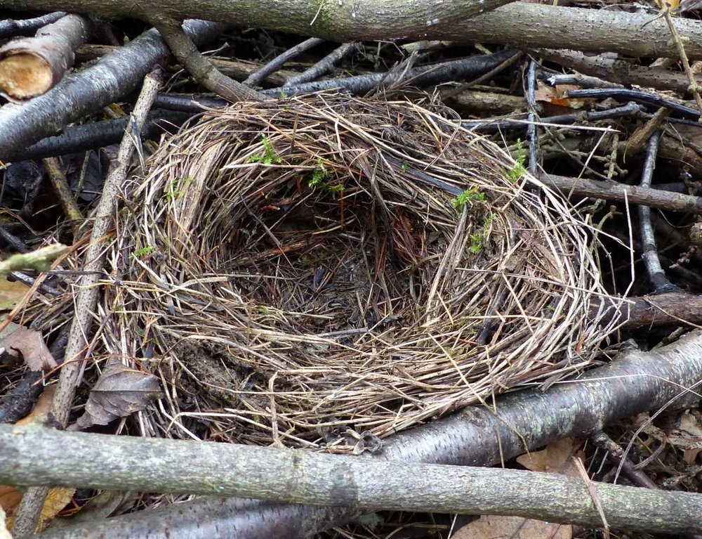 blackbird-nest.jpg