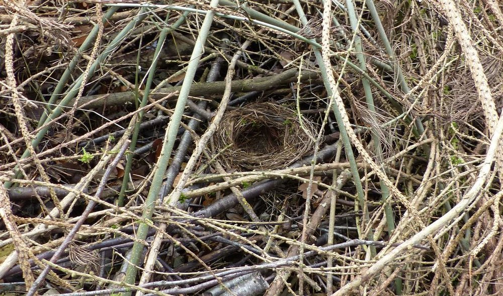 blackbird-nest-big.jpg