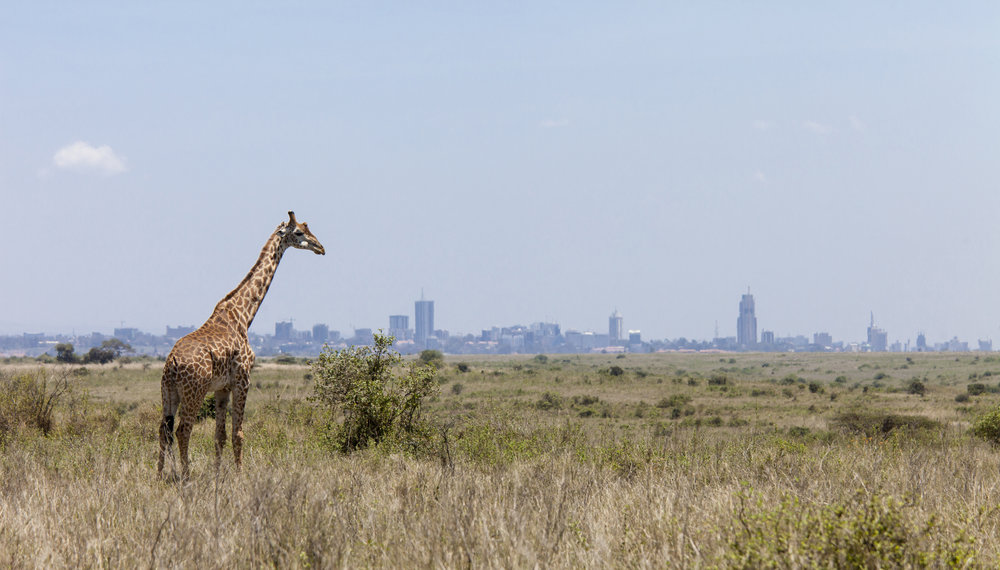 Giraffe and Nairobi.jpg
