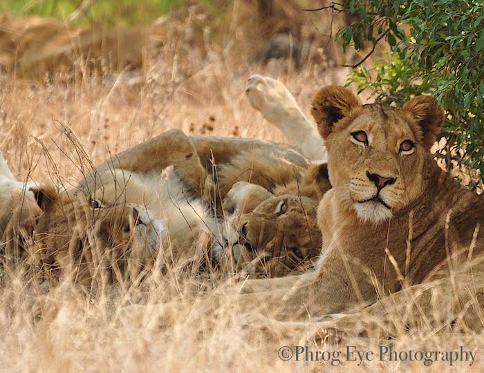 5. Lion Famliy of Kruger.jpg