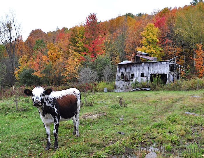 6. Mike's Cow and the Old Sugar House.jpg