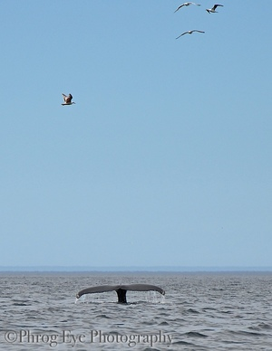whale tale and seagulls in Newfoundland, paddle boarding with whales