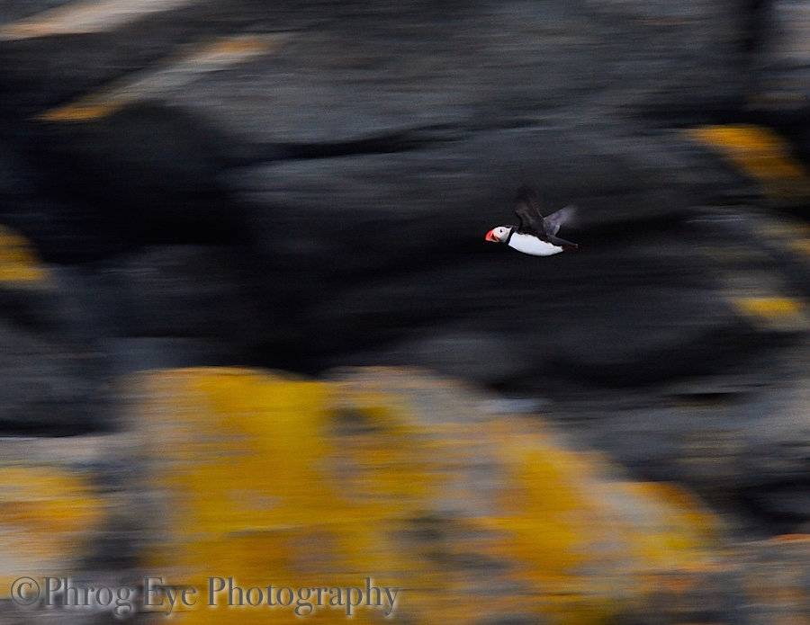 Image: A photo taken by Liesl Ulrich-Verderber of a puffin flying through the air