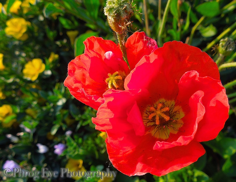 Image: beautiful red poppies