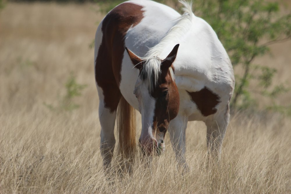 Painted Beauty, grazing at Horse'n Around Rescue Ranch and Foundation.