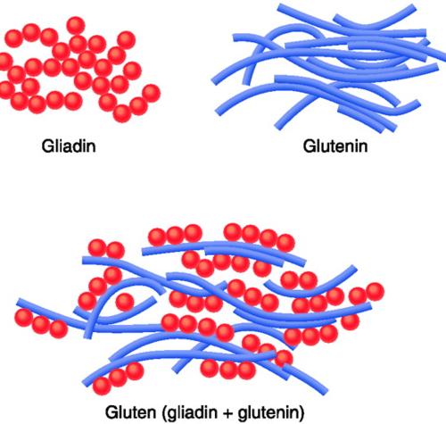 Image result for glutenin and gliadin