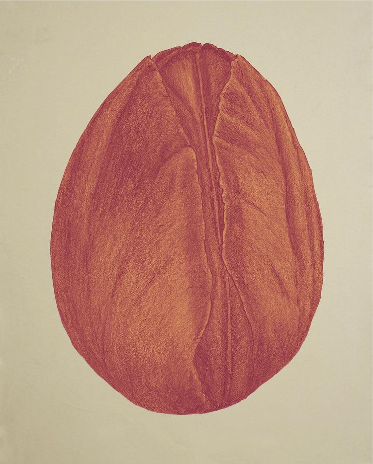 Tulipa Rosa