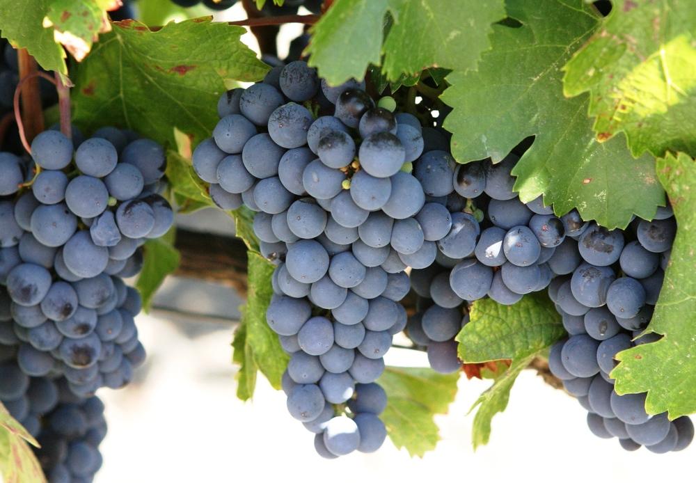 Cabernet Sauvignon | DWC | Grapes
