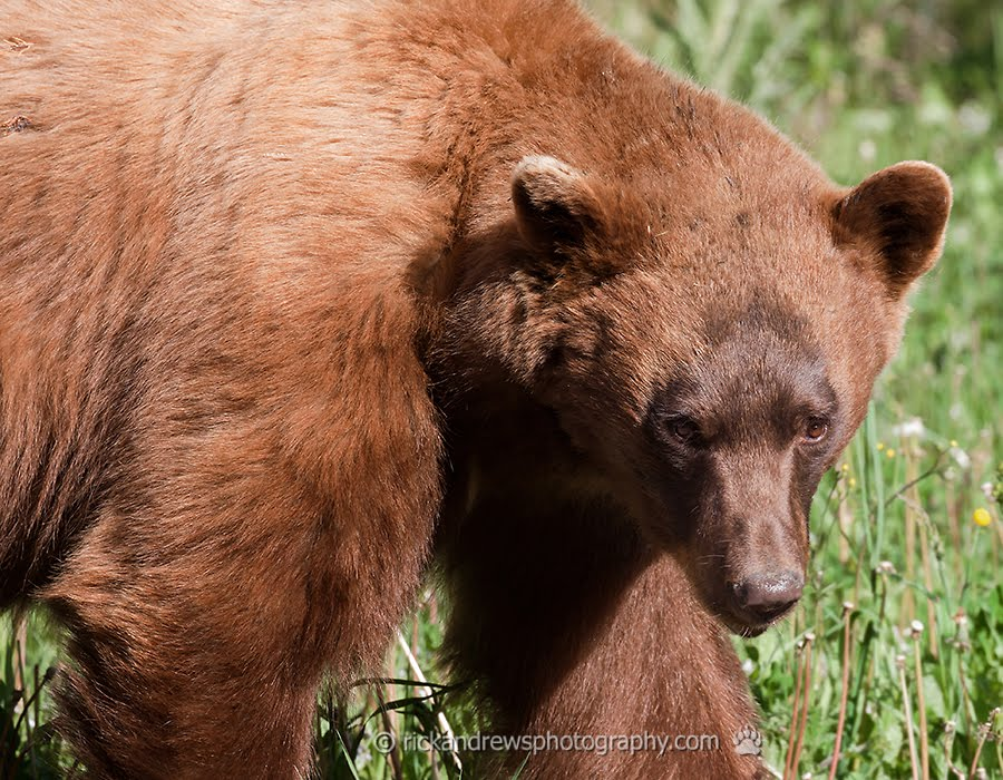 Brown-phase Black bear - Waterton Lakes NP