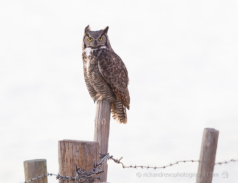 reat Horned Owl south of Lethbridge