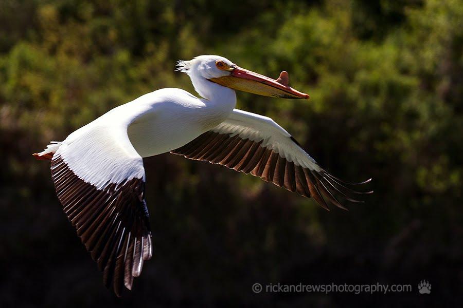American White Pelican - Oldman River, Lethbridge