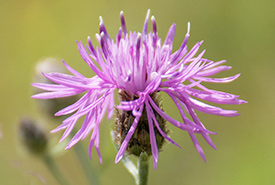 Spotted knapweed (Photo by Leta Pezderic)