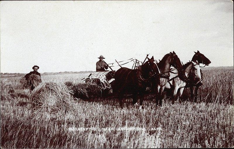 Lethbridge harvest, 1910 - Photo credit: Lethbridge Historical Society