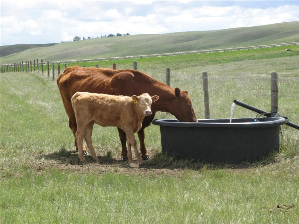 Cows drinking from an off-stream water trough. Photo Credit: Dwayne Rogness