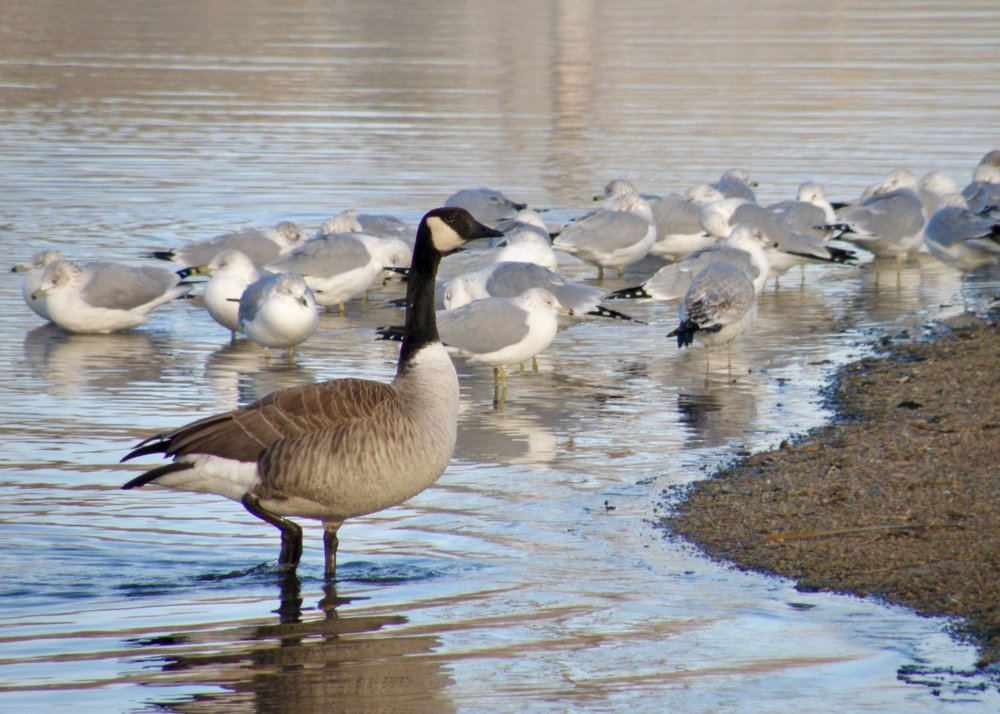 The park's more common residents (Canada goose and ring-billed gulls)