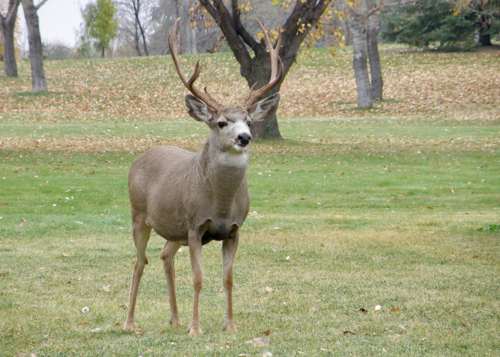 A mule deer buck watches people play a round of disc golf