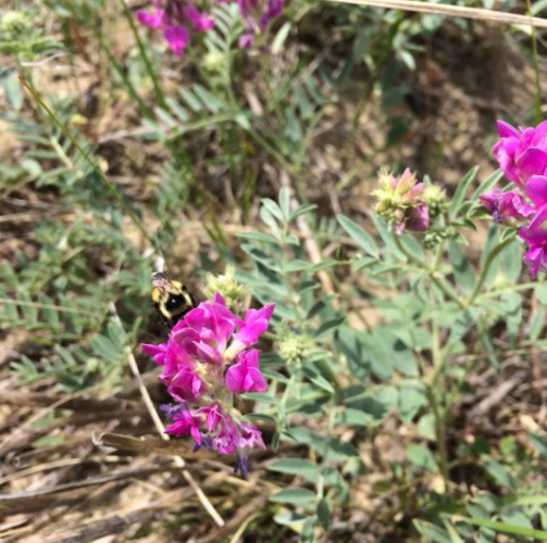 Bees working hard in the coulee.