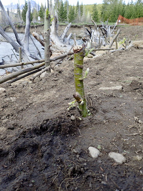 This willow stake planted in December 2017 is starting to bud. Its roots will grow deep and help stabilize the soil, reducing erosion and sediment in Lost Creek.