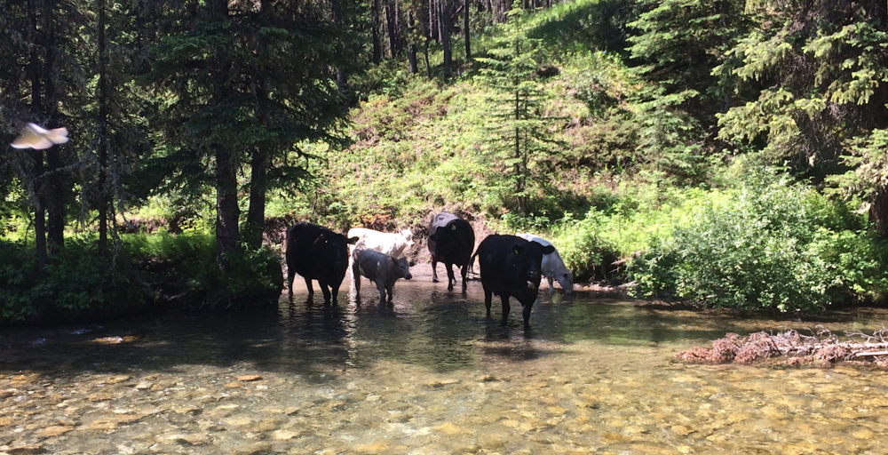 Cattle in Dutch Creek just a bit upstream of Caesar's Flat.