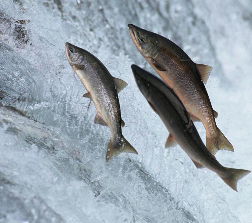 wild salmon jumping stock footage