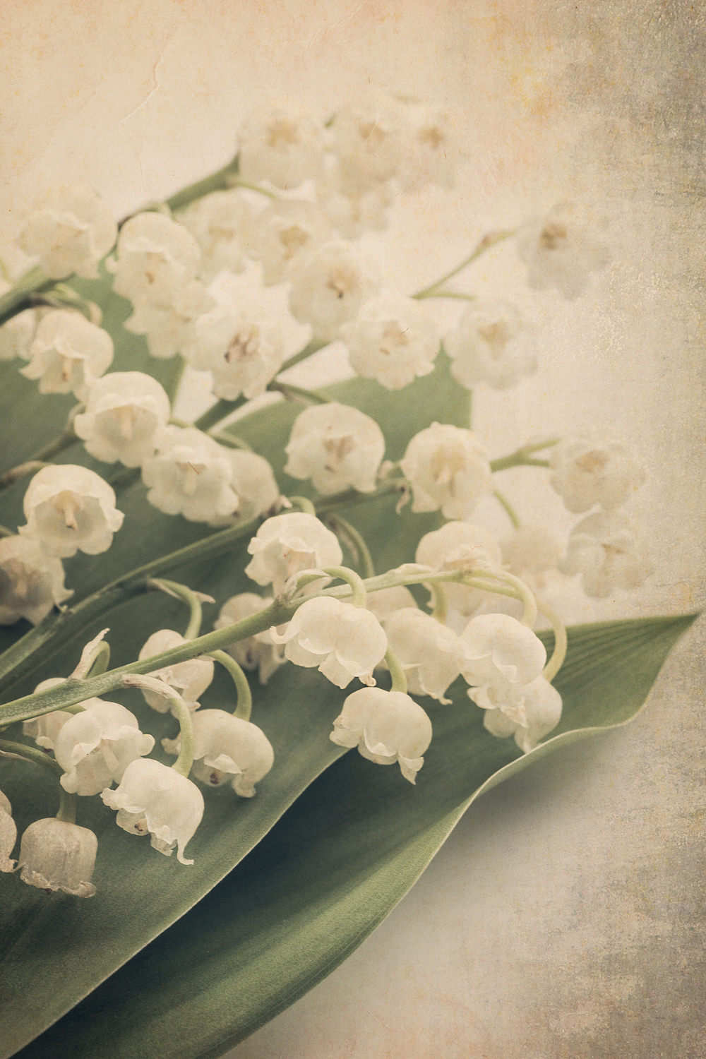 Scents of Spring - Lily of the Valley ii