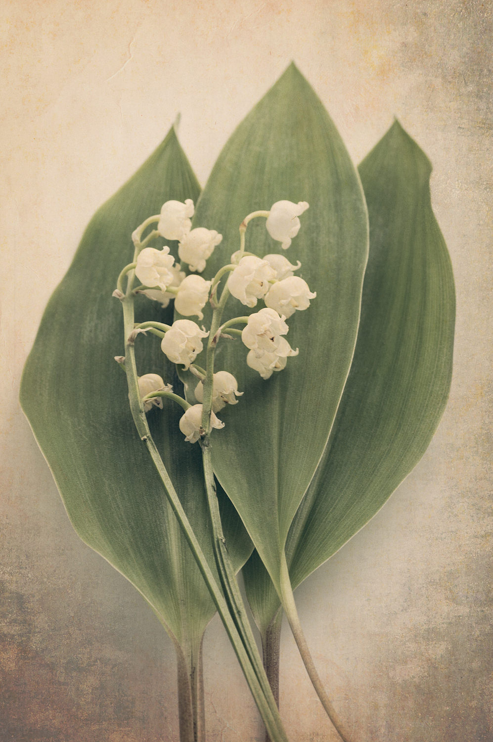 Scents of Spring Series - Lily of the Valley i