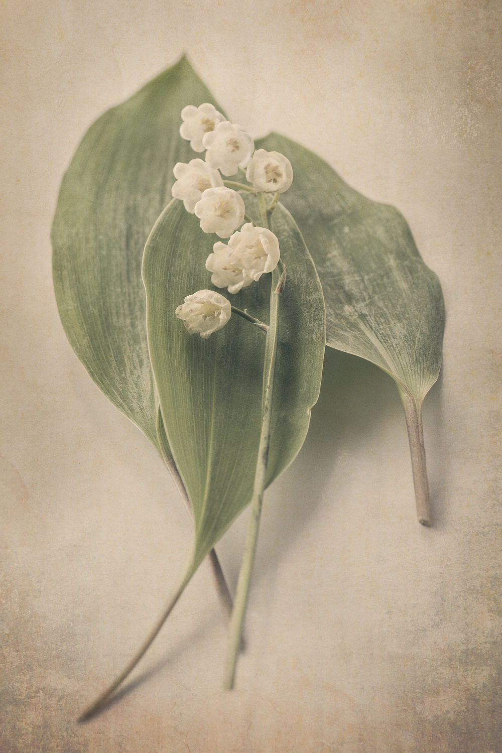 Scents of Spring - Lily of the Valley iv