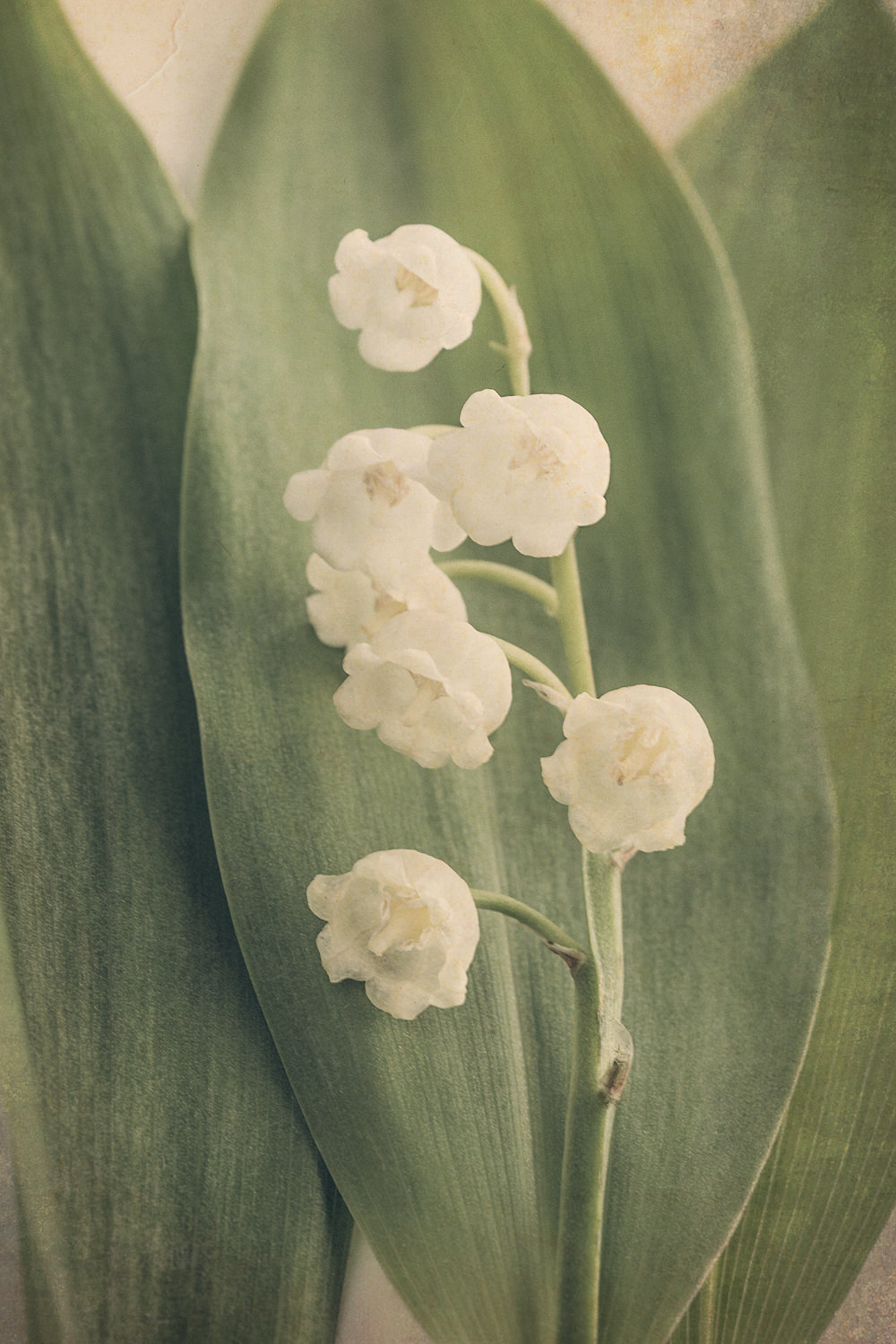 Scents of Spring - Lily of the Valley iii