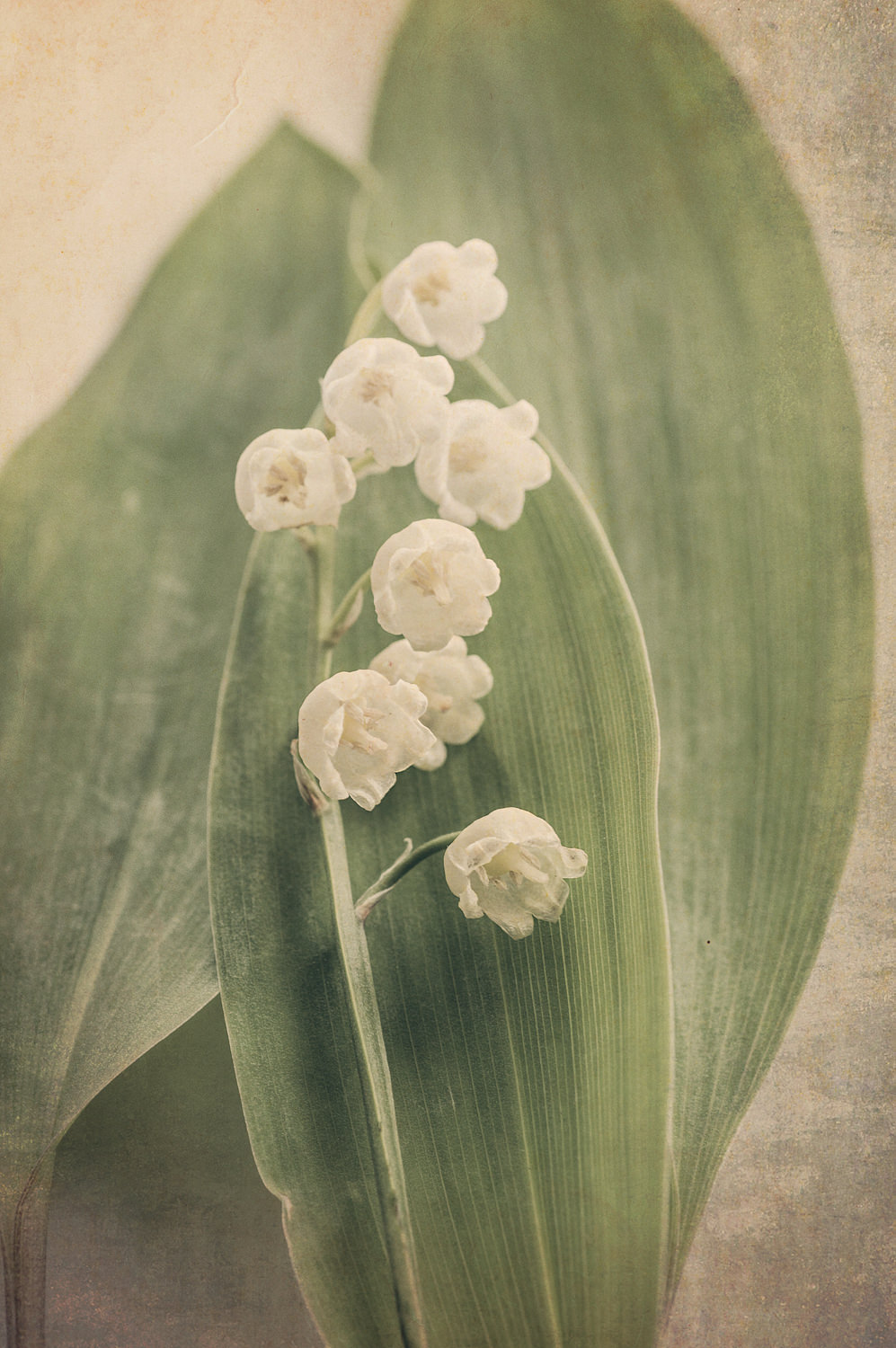 Scents of Spring - Lily of the Valley vi