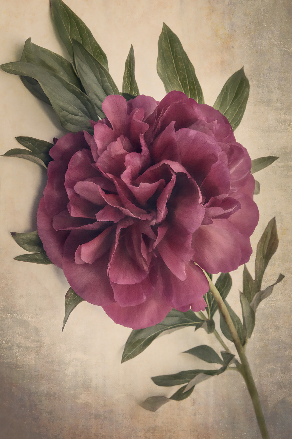 Scents of Spring - Antique Peonies - Burgundy I