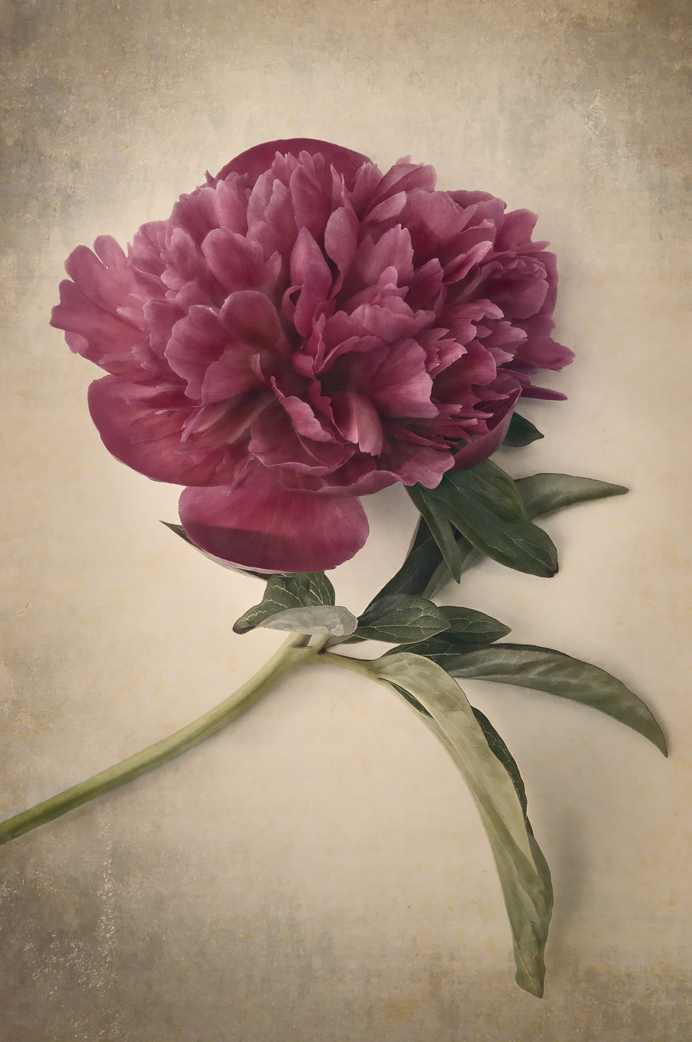 Scents of Spring - Antique Peonies - Burgundy