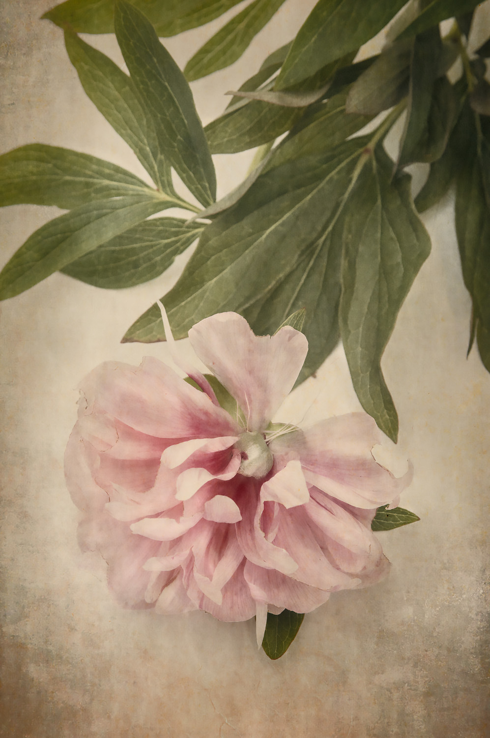 Scents of Spring - Antique Peonies - Pink I