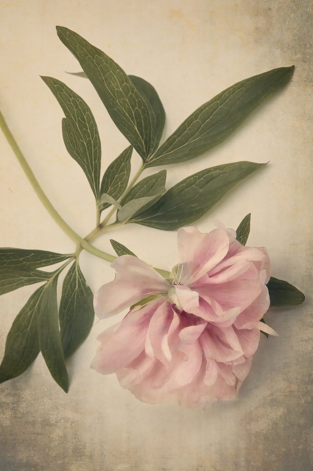 Scents of Spring - Antique Peonies - Pink II