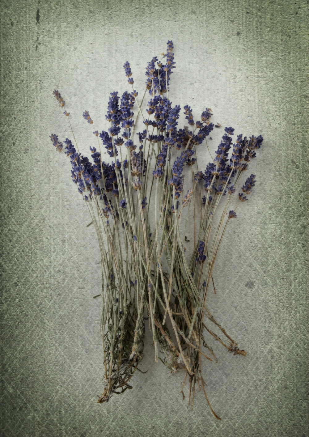 Antique Lavender ii