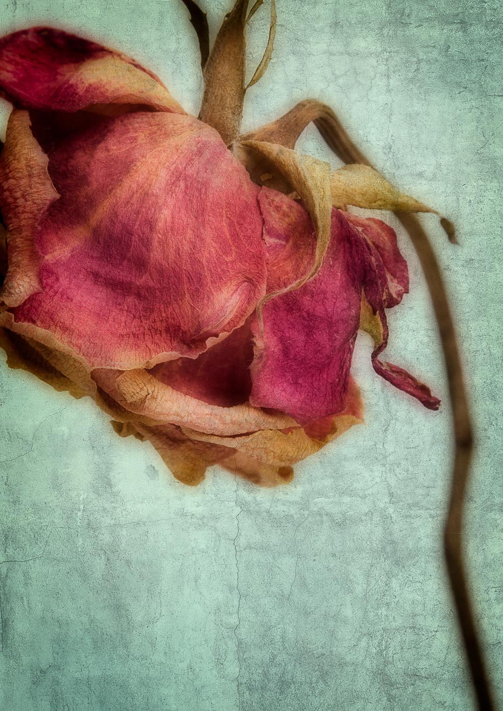 Quiet Rose i