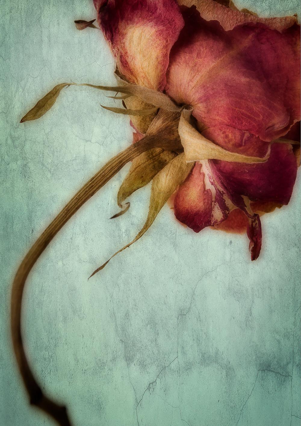 Quiet Rose iii