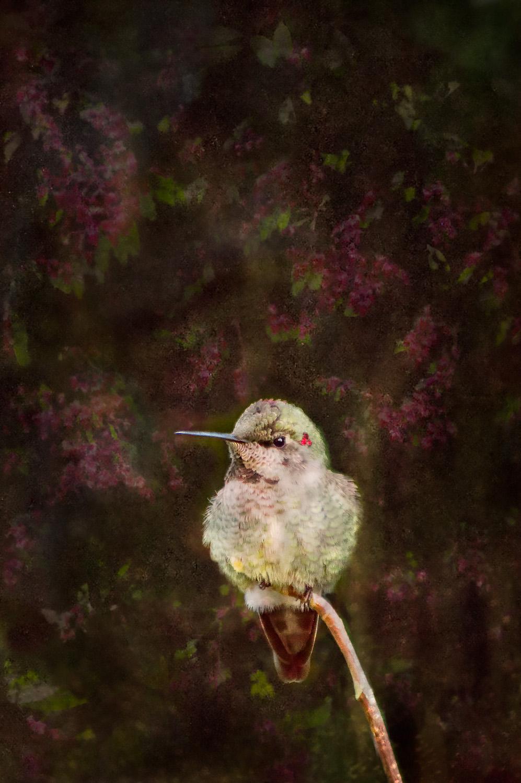 Anna's Hummingbird i