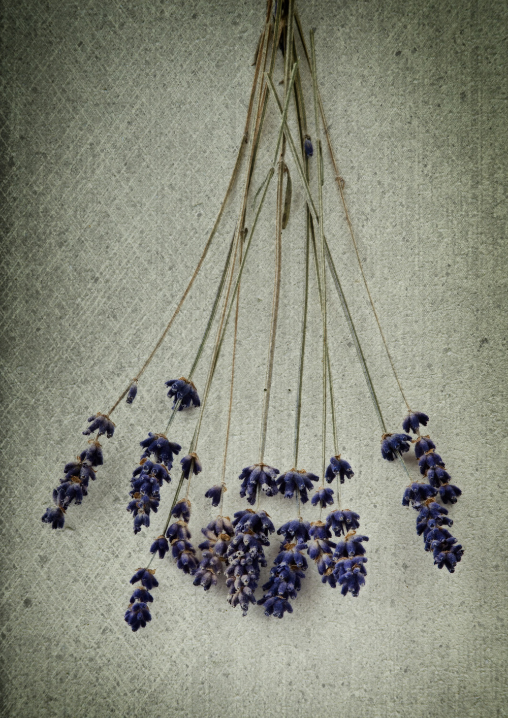 Antique Lavender iii