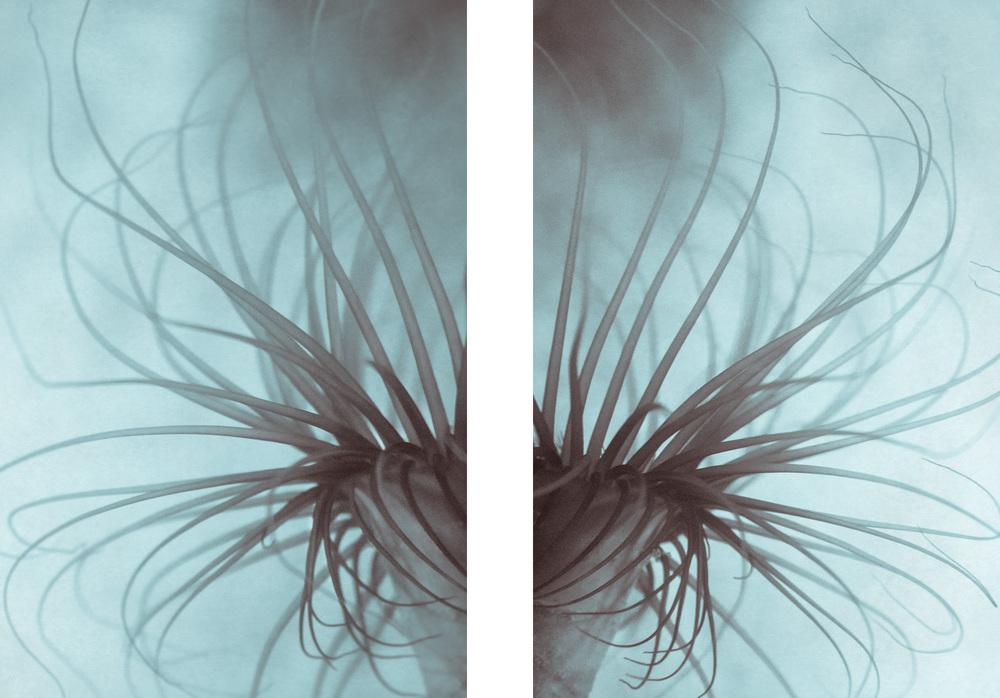 Sea Anemone i & iv