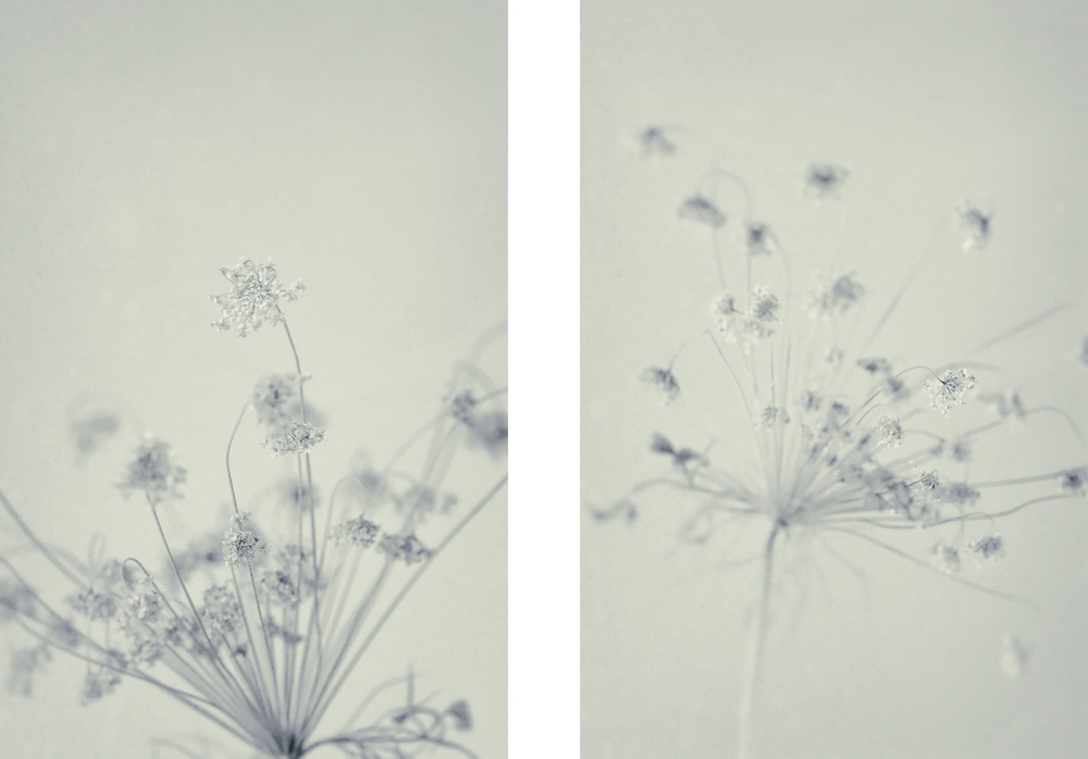 Queen Anne's Lace iii & iv